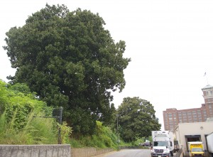 The northernmost magnolia can be seen in the foreground, with the other tree in the background. Ponce City Market is in the background on the right.