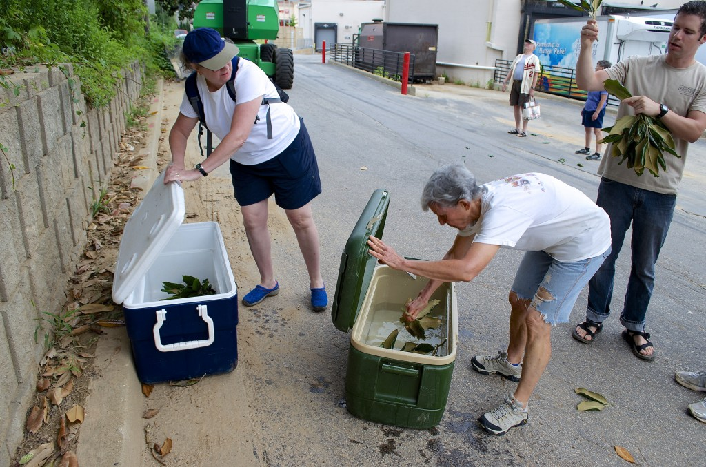 Volunteers dipped the cuttings in water, then placed them in a dry storage cooler - one cooler for each trees cuttings.