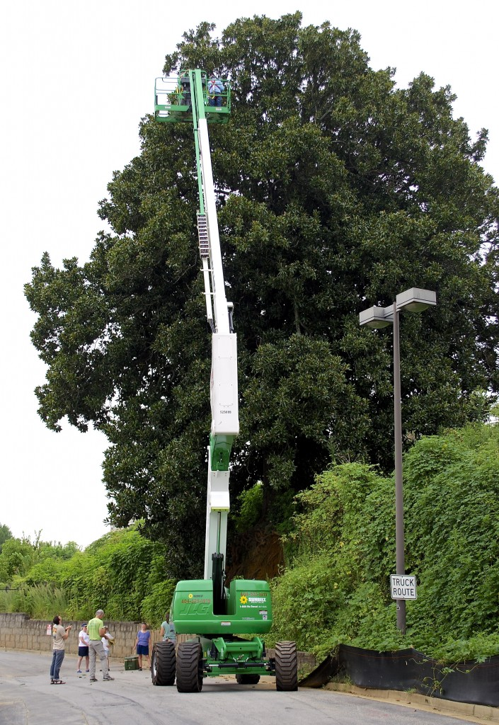 Cherry picker at about the full extent of its reach. The best cuttings come from new growth at the top of the tree.