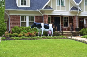 The Lanier Blvd. bovine - a Holstein, to be specific.