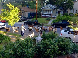 Jailbreak! Goats loose on Rosedale Dr. Photo credit Kay Stephenson