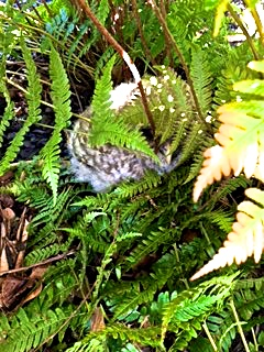 Baby owl hiding in the ferns.