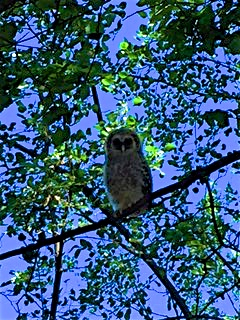 This was one of our last glimpses of the baby Barred owl.
