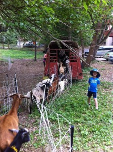 The goats arrive on Hudson Dr.